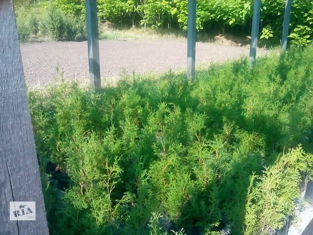 купить бу Декоративные растения для озеленения территории и помещений. в Сумах