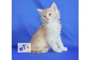 Великолепные котята породы мейн-кун!!!