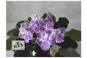 Фиалки (Сенполии)