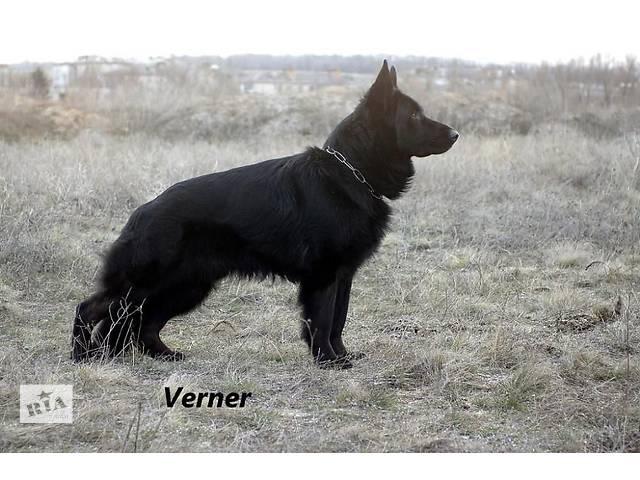 продам Длинношерстный черный щенок немецкой овчарки КСУ-FCI  бу в Киеве