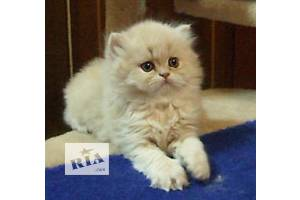 Длинношерстный котенок красный камео шиншилла