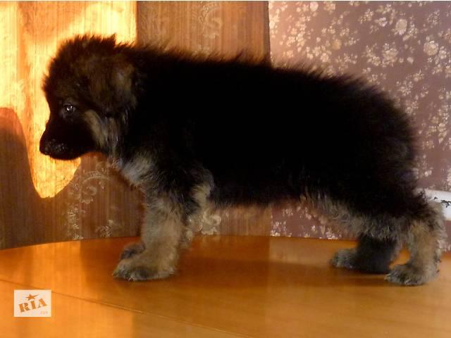 купить бу Длинношерстный щенок немецкой овчарки. Внук Двукратного Чемпиона Мира! в Днепре (Днепропетровске)