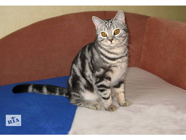 Добрый, ласковый британский котик- объявление о продаже  в Запорожье
