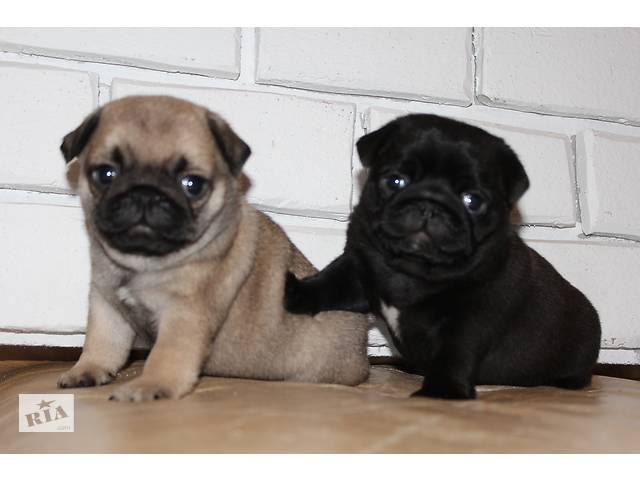 Мопс щенки черного и палевого окраса, шоу перспективные