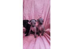 Мексиканские голые собаки