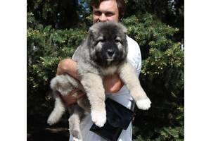 Вівчарки