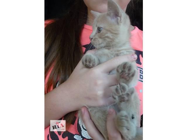купить бу Домашний котенок(котик),окрас-цвет кофе с молоком.2.5 мес в Харькове