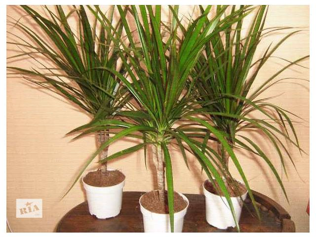 Драцена окаймленная (Dracaena marginata).- объявление о продаже  в Виннице