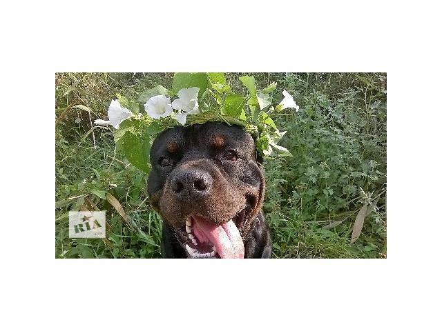 купить бу Дрессировка собак   Выезд на дом. в Одесской области