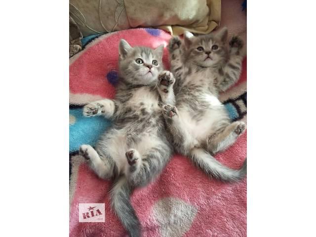 продам Очень ласковые котята шотландские  страйт бу в Тернополе