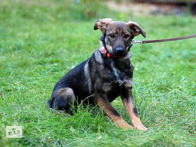 купить бу Джерси, четырехмесячный щенок, девочка. в Киеве
