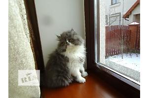 Эффектные персидские котята экстремального типа