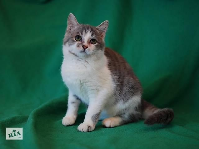 Егоза, котенок девочка окраса голубой биколор.- объявление о продаже  в Киеве