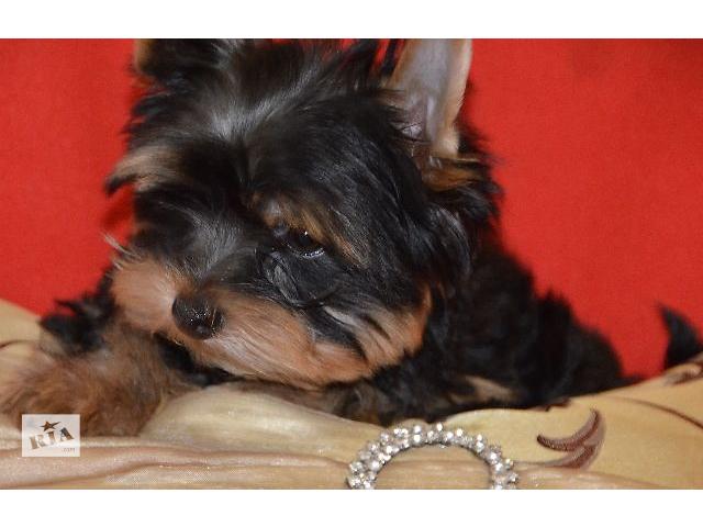 Йоркширский терьер цены купить недорого щенка мини йорка