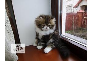 Эксклюзивные персидские котята от Юкрейн Биколор Кэтс