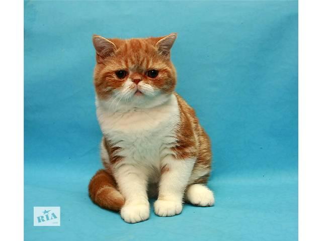 Экзоты котята биколорчики- объявление о продаже  в Киеве