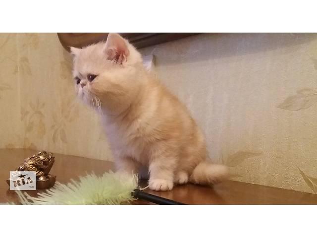 бу Экзотические короткошерстные котята  в Днепре (Днепропетровске)