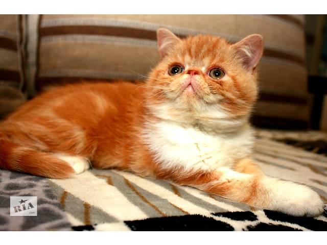 купить бу Экзотические короткошерстные котята в Киеве