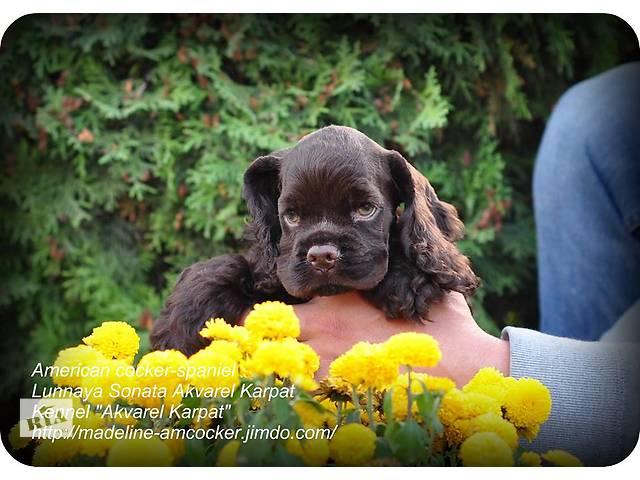 продам Элитные щенки американского кокер-спаниеля шоколадного окраса с родословной КСУ от пары интерчемпионов! бу в Ивано-Франковске
