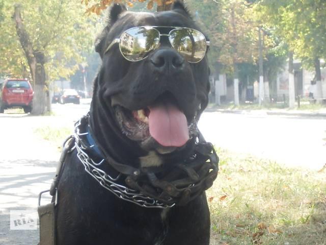 продам Элитные щенки Кане Корсо бу в Киеве