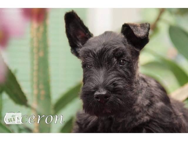Элитные щенки Скотч-Терьера- объявление о продаже  в Харькове