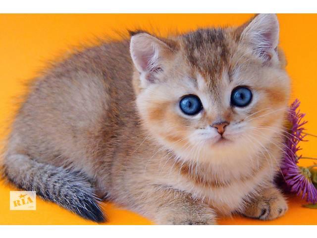Элитные золотые котята- объявление о продаже  в Днепре (Днепропетровске)
