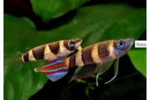 мирні рибки