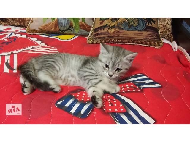 Европейский котик- объявление о продаже  в Харькове