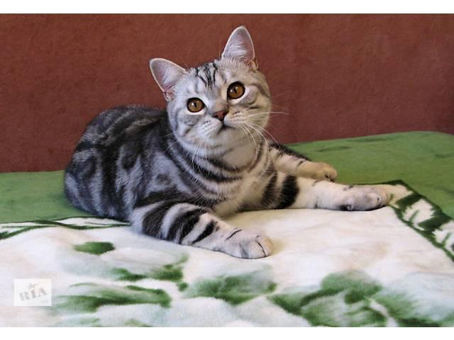 бу FANCY CATS предлагает Британских котят мраморного окраса в Киеве