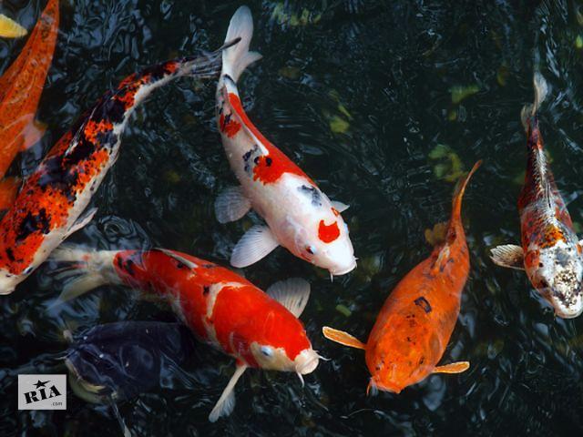 цветные карпы,малек кои,карпы кои опт,водные растения,зоомагазин,аквариумные рыбки,рыбки в пруду,карпы кои,ферма- объявление о продаже  в Киеве