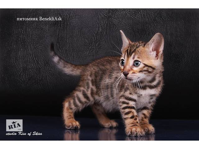 продам Фотосъемка бенгальских котят в Киеве и обл бу в Киеве