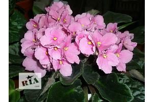 Новые Геснериевые растения