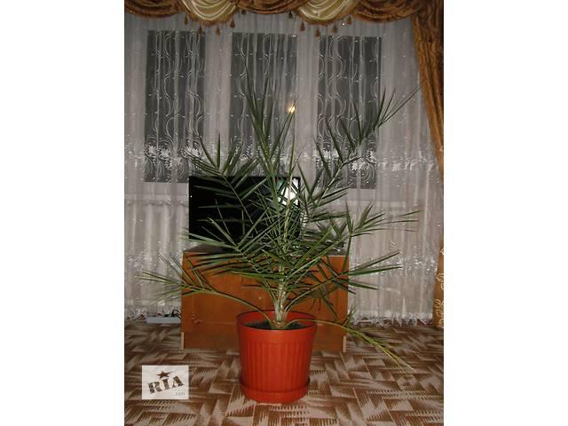 финиковая пальма 15 лет- объявление о продаже  в Тальном