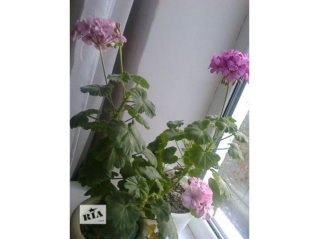 продам герань южно-европейский с розовыми цветками бу в Сумах