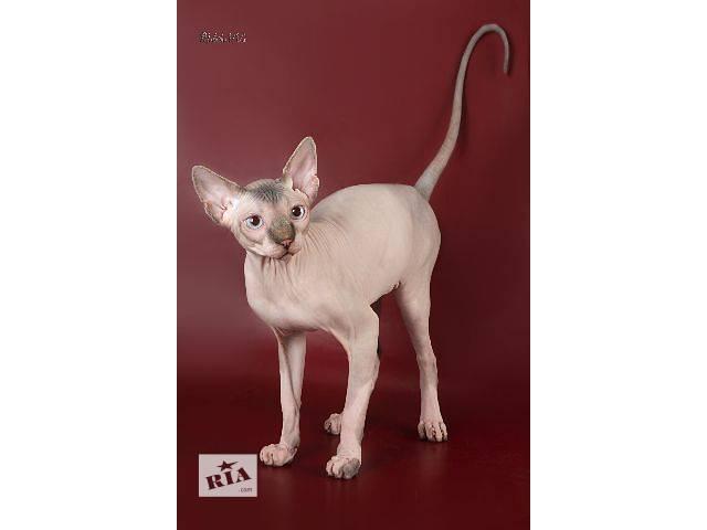 продам Голенькие котята сиамского окраса. бу в Днепре (Днепропетровске)