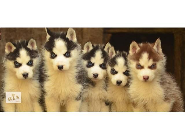 Голубоглазые щенки хаски- объявление о продаже  в Виннице