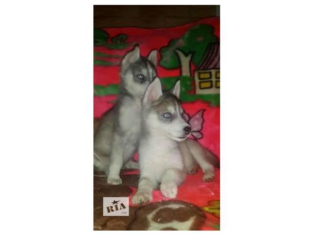 голубоглазые щенки- объявление о продаже  в Одессе