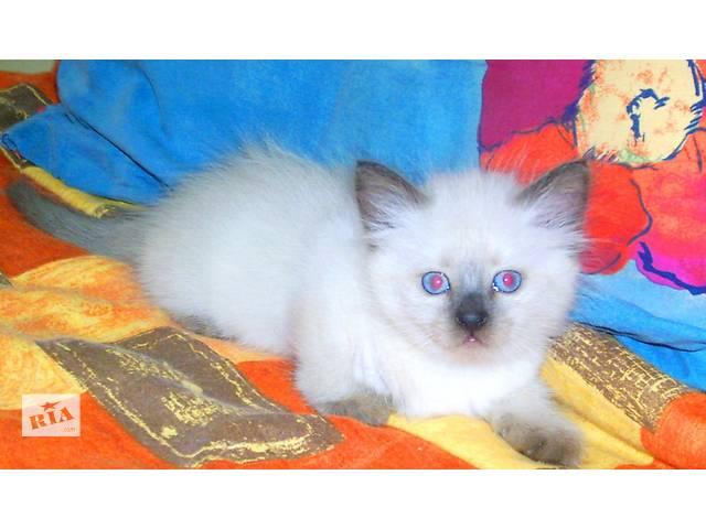 бу голубоглазые сиамские(тайские) котята в Запорожье
