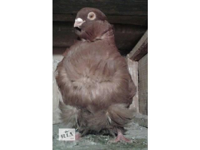Голуби китайські чайки- объявление о продаже  в Львове