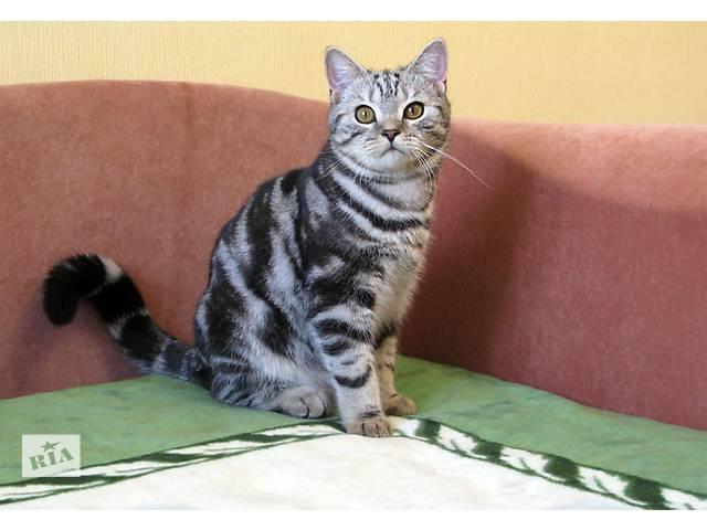 бу IVAR Британский котик в Запорожье