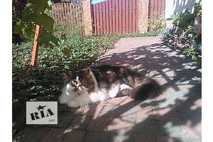 Ексклюзивні персидські кошенята від Юкрейн Біколор Кэтс