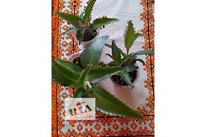 продам Лекарственные растения бу