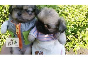 Карликовые пекинесы мальчик и девочка.