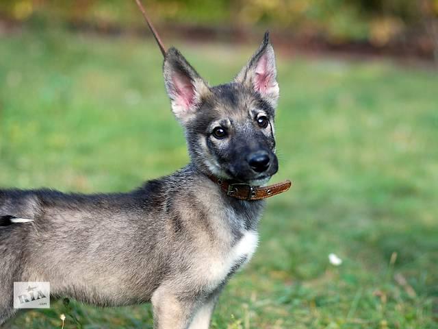 Кевин, трехмесячный щенок.- объявление о продаже  в Киеве