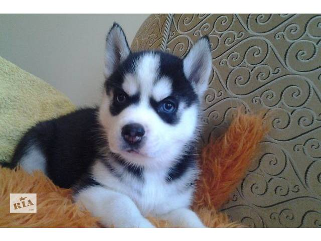 Gorgeous akc potty trained siberian husky puppies