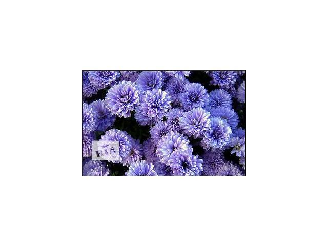 купить бу Хризантема астра новобельгийская (морозец) махровая. в Днепре (Днепропетровске)