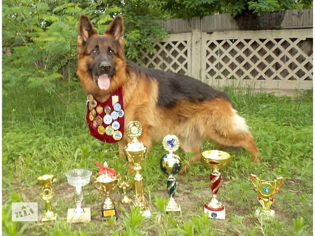 купить бу Классные щенки Немецкой Овчарки! Будешь гордится всю жизнь! в Киеве