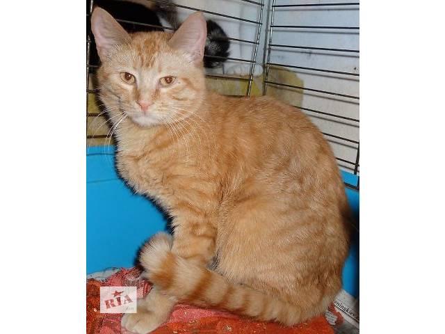 Классный рыжий котик в добрые руки,10 мес.- объявление о продаже  в Киеве