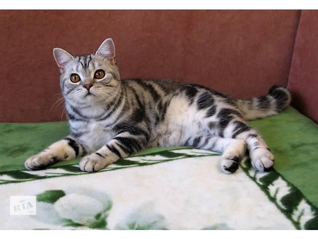 купить бу Классический МРАМОР. Британские котята в Днепре (Днепропетровске)