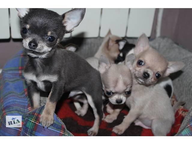 Клубные щенки чихуахуа- объявление о продаже  в Днепре (Днепропетровск)